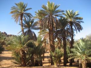 Taghit palmiers - A.Boubakeur